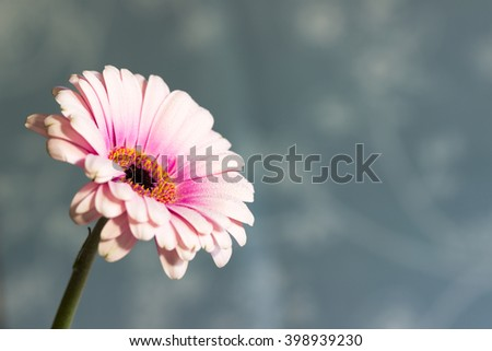 Fresh soft pink gerbera daisy, with pollen showing. - stock photo