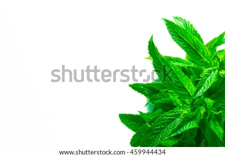 Fresh spearmint herb Mentha on a white background