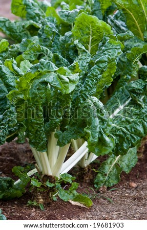 fresh spinach / silver-beet growing in the vegetable garden
