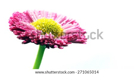 Fresh spring daisy flower isolated on white. Pink. - stock photo