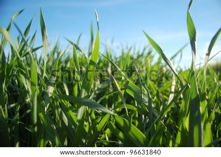 Fresh spring grass growing under the blue sky. - stock photo