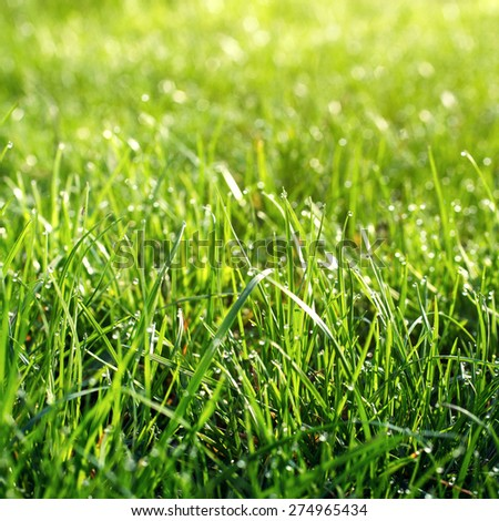 Fresh Spring Green grass with dew Drops background