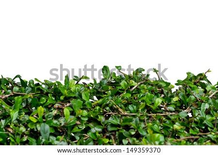 fresh spring green shrub isolated on white background - stock photo