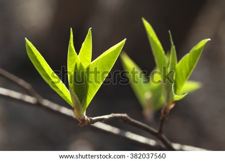 Fresh spring leaves - stock photo