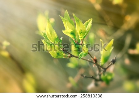 Fresh spring leaves illuminated with sun rays - stock photo