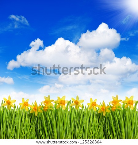 fresh spring narcissus flowers in green grass with water drops over sunny blue sky background - stock photo