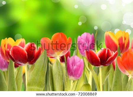 Fresh spring tulips with green blur background - stock photo