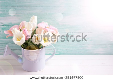 Fresh  spring white and pink  tulips and narcissus in decorative watering can in ray of light  on white painted wooden background against turquoise wall. Selective focus. Place for text.  - stock photo