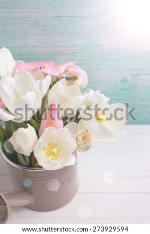 Fresh  spring white and pink  tulips and narcissus in watering can in ray of light  on white painted wooden background against turquoise wall. Selective focus. Place for text.  - stock photo