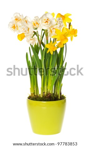fresh spring white and yellow narcissus flowers