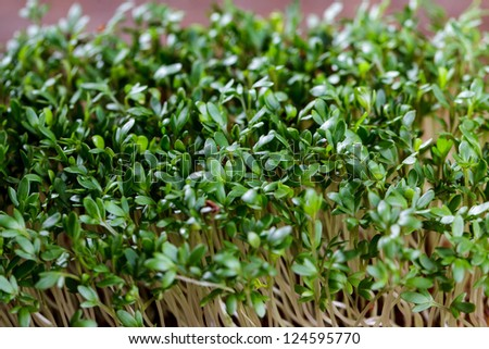 Fresh sprouts of garden cress ready for preparation - stock photo