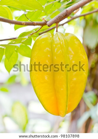 fresh starfruit on tree - stock photo