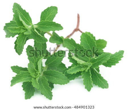 Fresh Stevia leaves used as natural sweetener over white background