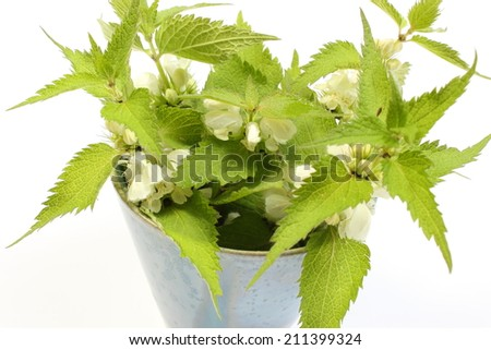 Fresh stinging nettles with white flowers in blue cup. Isolated on white background