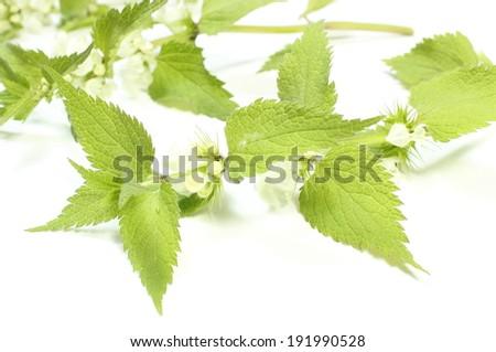 Fresh stinging nettles with white flowers. Isolated on white background - stock photo