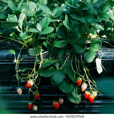 fresh strawberries from Japanese farm - stock photo