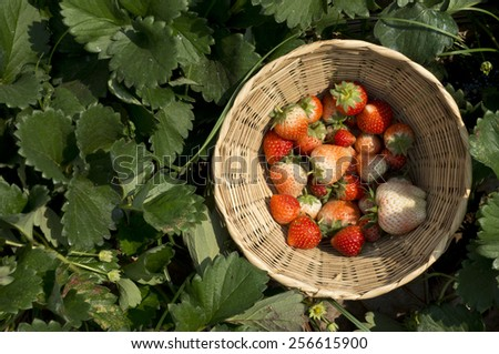 Fresh Strawberries in basket on strawberry tree background. - stock photo
