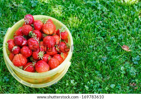 Fresh strawberries in bucket on grass from pick a berry farm