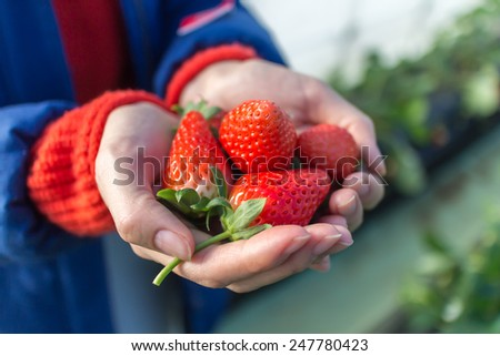Fresh strawberries in girl's hand with strawberry field back grand