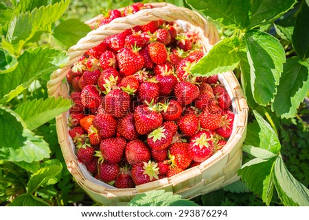 Fresh strawberries in the basket in middle of strawberry field