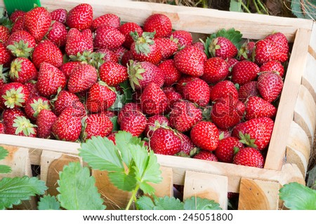 fresh strawberries in wooden basket on fields background - stock photo