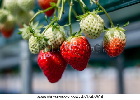 Fresh strawberries that are grown in greenhouses