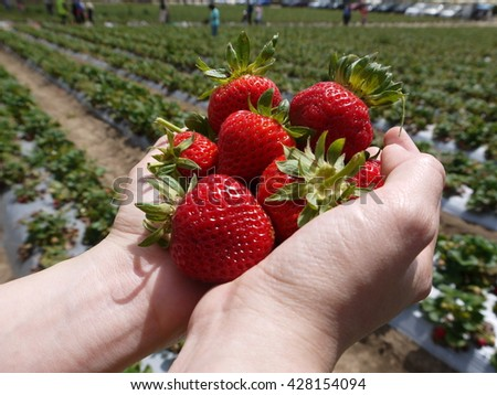 fresh strawberry in human hands in the strawberry field - stock photo