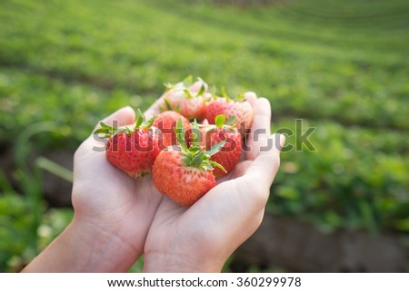 fresh strawberry in strawberry's field. - stock photo