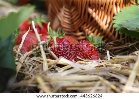 Fresh strawberry, raw, straw, wicker basket on bad in garden. Sunny summer day - stock photo