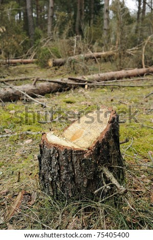 fresh stump in forest - stock photo