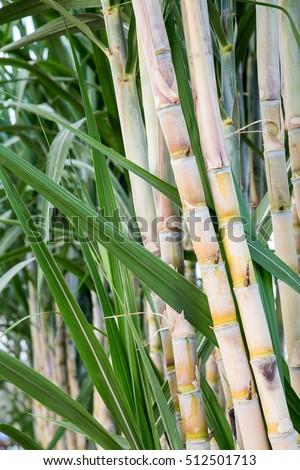 fresh sugarcane in garden.
