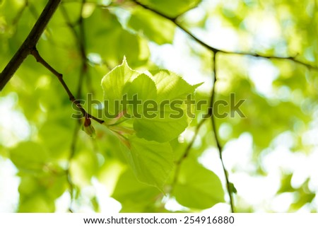 Fresh Summer Leaves on the Blurred Green Background - stock photo
