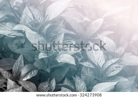 Fresh sweet basil plants at an organic vegetable garden in black and white - color filter effect style pictures - stock photo
