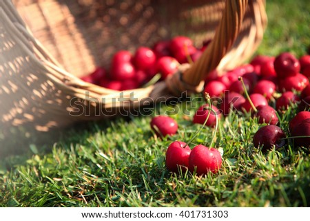 fresh sweet cherries in garden on green grass