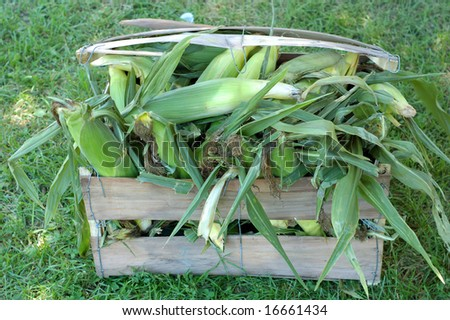 fresh sweet corn in bucket