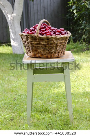 Fresh sweet ripe cherries in a wicker basket in a garden, summer harvest - stock photo