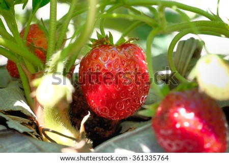 Fresh sweet strawberry in the garden - stock photo