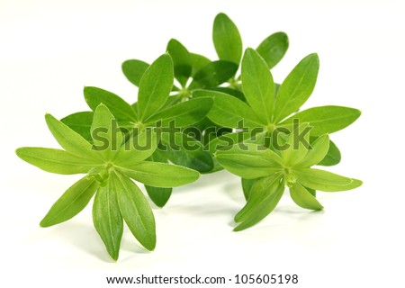 fresh sweet woodruff in front of white background - stock photo