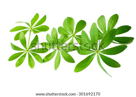 Fresh Sweet woodruff leaves in front of white background