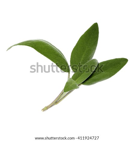 fresh, tasty and herby sage leaves on a white background