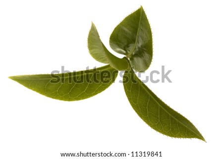 fresh tea branch isoalted on the white background