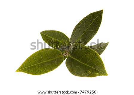 fresh tea leaf isolated on the white background