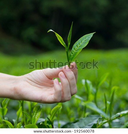 Fresh tea leaf with bud in fingers over tea bushes on plantation
