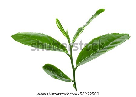 Fresh tea leafs - stock photo