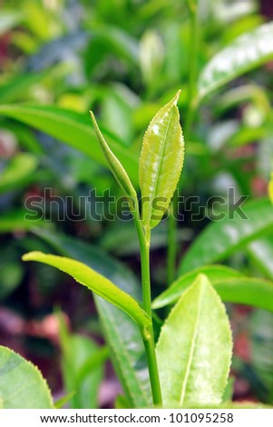Fresh tea leaves in Darjeeling of Sikkim, India - stock photo