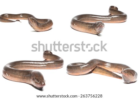 Fresh thailand eel on white background - stock photo