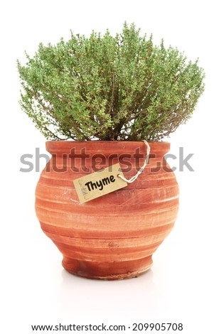 Fresh thyme plant in a clay pot - stock photo