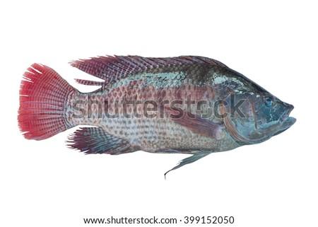 fresh Tilapia isolated on white background - stock photo