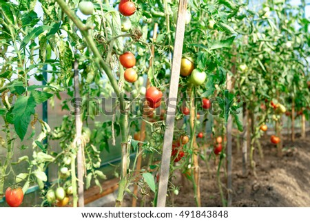 Fresh tomato bushes in greenhouse in closeup