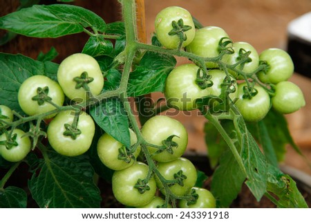 fresh tomatoes in farm  - stock photo